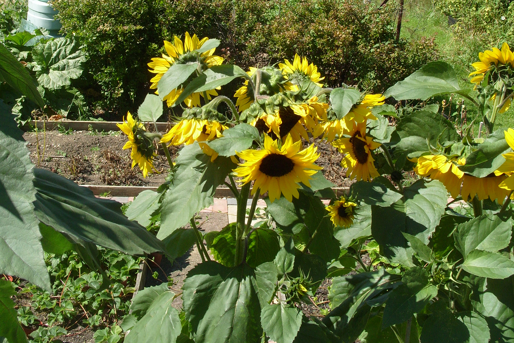 sunflowers-cropped2